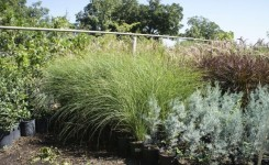 Miscanthus, Blue Ice Arizona Cypress and Purple Fountain