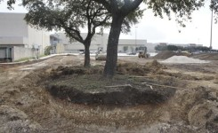 Digging Large Live Oak
