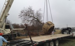 Lifting Spanish Oak 2