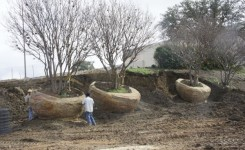 Moving Large Crape Myrtles
