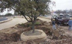 Moving Large Live Oak 3
